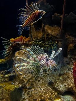 Lion Fish In Captivity.