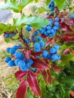 Wild Oregon Grapes
